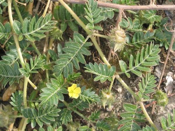 Трибулус террестрис травы повышающие потенцию