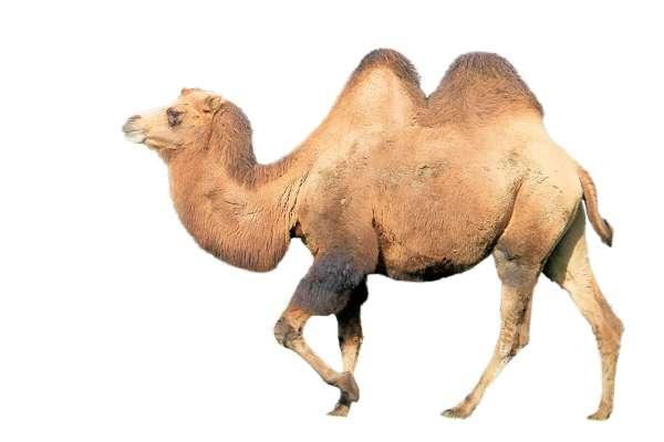 Продукты для повышения потенции у мужчин: верблюжий желудок